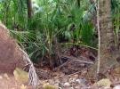 005) Kokos rośnie na kokosie - Wyspa Saint-Joseph