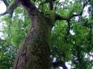 010) Stare drzewa z Wyspy Royale
