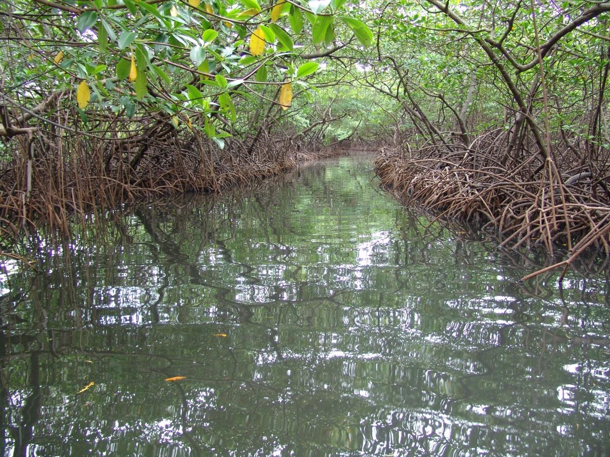 015) Tunel z mangrowca