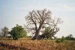 Baobab krzywy inaczej
