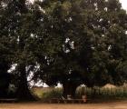 W cieniu wielkiego mangowca