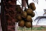 Dojrzałe kokosy