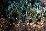Orzeszki arachidu