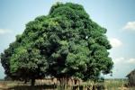 Drzewo mangowiec daje owoce i ogromny cień