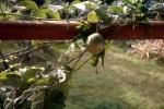 Owoce męki pańskiej - marakuja