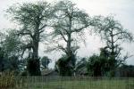 Baobaby są różne - jak Ludzie