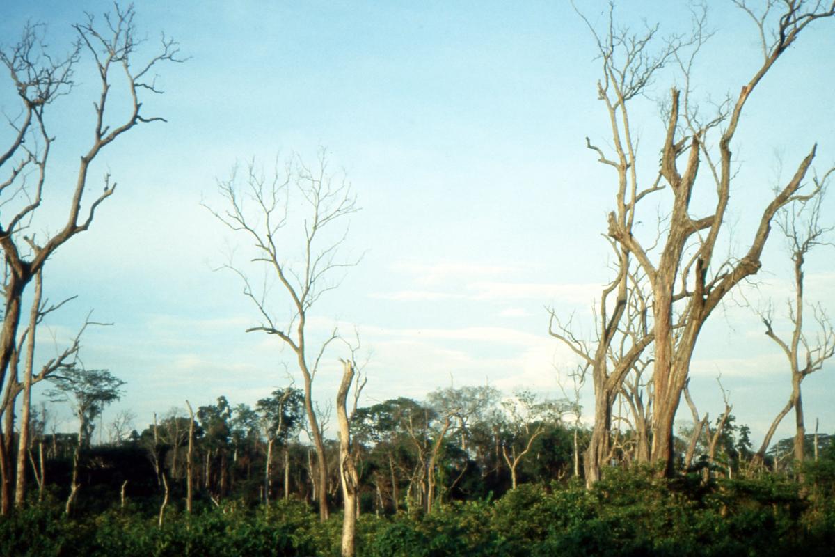 Plantacja kawy wśród zabitych drzew