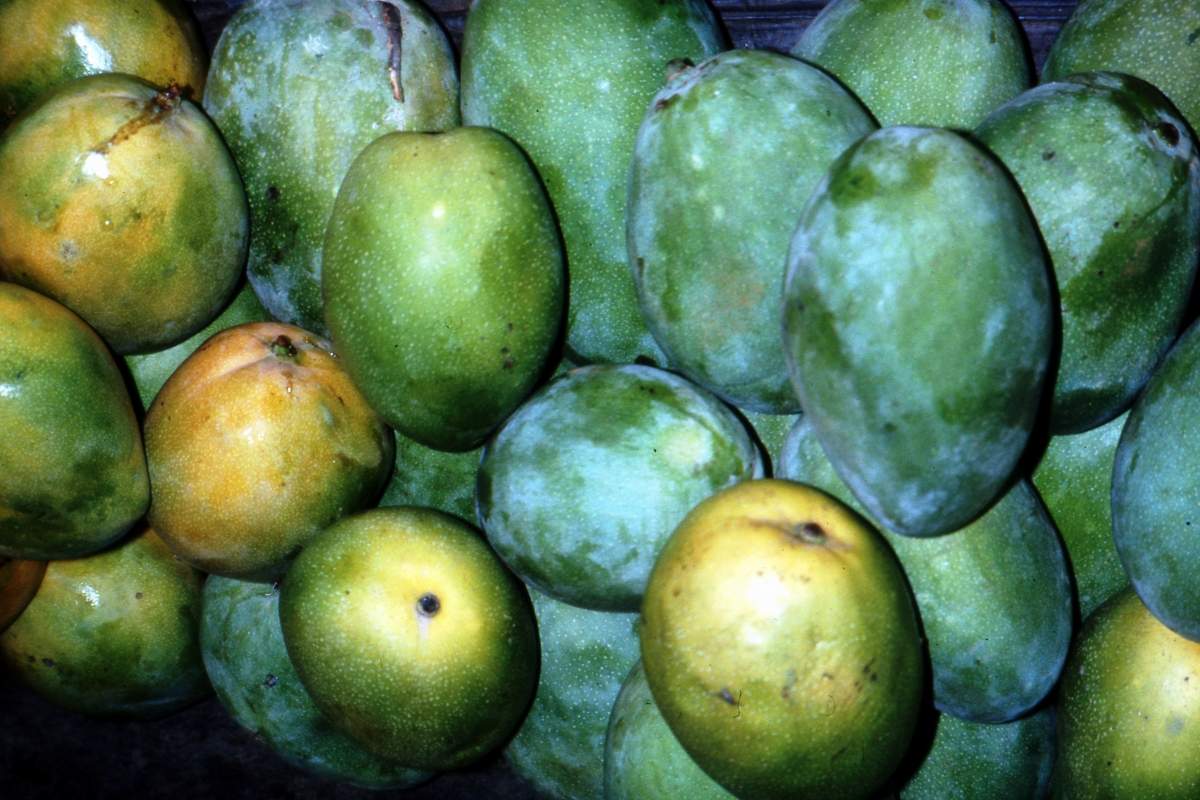 Owoce mango