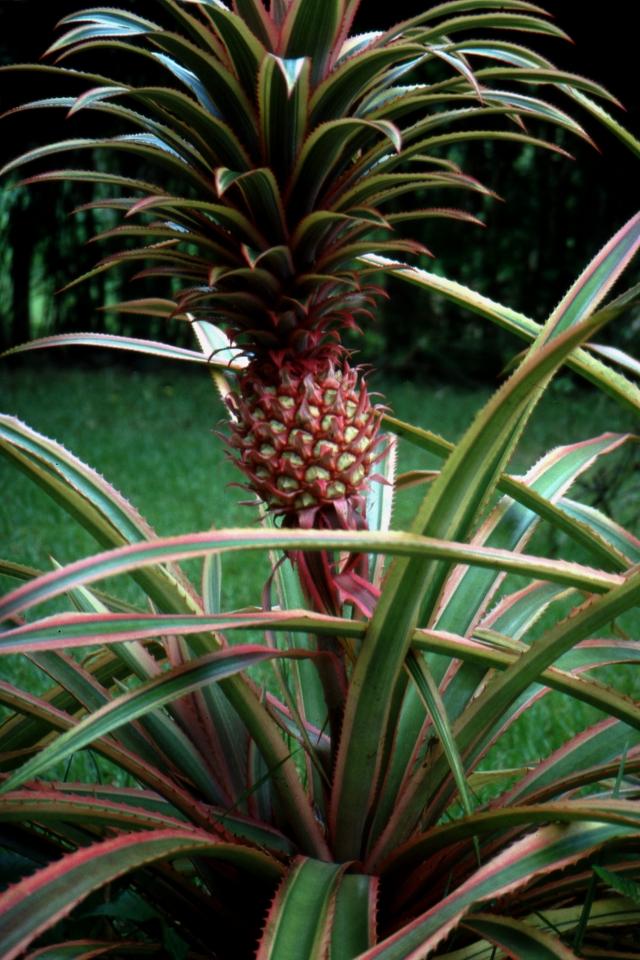 Ananas dekoracyjny