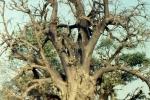 Baobab jak u Henryka