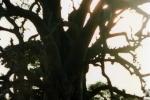 Każdy baobab jest inny