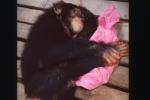 Szympans Pepe